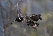 Etourneaux sansonnets (Sturnus vulgaris) prise de becs en vol, Parc naturel régional des Vosges du Nord, France
