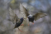 Starlings (Sturnus vulgaris) fighting in flight, Parc naturel régional des Vosges du Nord, France