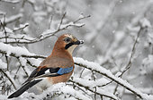 Eurasian jay (Garrulus glandarius) looking for food under the snow, Vosges du Nord Regional Nature Park, France