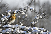 Fieldfare (Turdus pilaris) on icy hawthorn branches, Vosges du Nord Regional Nature Park, France