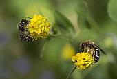 Orange-legged Furrow Bee (Halictus rubicundus) females on Black Medick (Medicago lupulina), Vosges du Nord Regional Nature Park, France