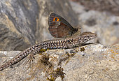 Common wall lizard (Podarcis muralis) with Scotch Argus (Erebia aethiops), Vosges du Nord Regional Nature Park, France