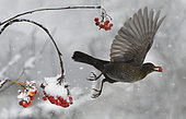 Blackbird (Turdus merula) in flight eating rowan (Sorbus aucuparia), Vosges du Nord Regional Nature Park, France