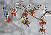 Blue tits (Parus caeruleus) eating wine-berries, Vosges du Nord Regional Nature Park, France