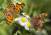 Comma Butterfly (Polygonia c-album) on flowers, Vosges du Nord Regional Nature Park, France