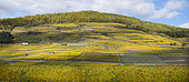 Alsatian vineyard in Sigolsheim, Kaysersberg-Vignoble, Haut-Rhin, Alsace, France