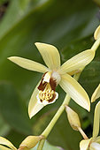 Necklace orchid (Coelogyne tomentosa) flower