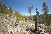 Cleared spruce forest (Picea abies) infested by European spruce bark beetle (Ips typographus), Oberhaslach, Alsace, France