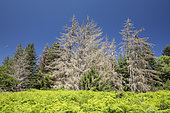 Common spruce (Picea abies) infested by European spruce bark beetle (Ips typographus), Vosges, France
