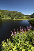 Rosebay willowherb (Epilobium augustifolium), Lac de Lispach, Vosges, France