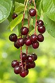 Chokecherries (Prunus virginiana) fruits
