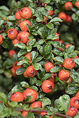 Cotoneaster (Cotoneaster nanshan) fruits and foliage