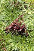 Cut leaf elderberry (Sambucus nigra 'Laciniata') fruits and foliage