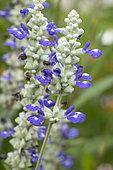 Mealycup sage (Salvia farinacea) flowers