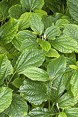 Wild pepper (Piper sarmentosum) folaige and flowers