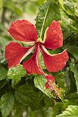Chinese hibiscus (Hibiscus rosa-sinensis) 'El Capitolo'