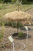 Straw parasol to shade a plant in a flower bed