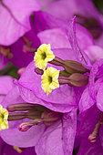 Fleurs et bractées du Bougainvillea x specto-glabra