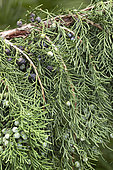 Chinese juniper (Juniperus chinensis) fruits and foliage