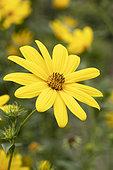 Giant sunflower (Helianthus giganteus) flower