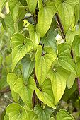 Chinese yam (Dioscorea polystachya) foliage
