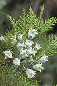 Chinese Arborvitae (Platycladus orientalis) fruits