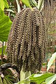 Fishtail palm (Caryota mitis) fruits