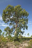 Camden woolybutt (Eucalyptus macarthurii), Esterel national forest, Var, France