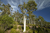 Mountain white gum (Eucalyptus dalrympleana), Esterel national forest, Var, France