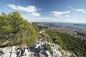 Aleppo pine (Pinus halepensis), Mont Faron, Toulon, Var, France