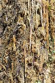 Resin flow on a maritime pine trunk (Pinus pinaster)