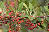 Milkflower cotoneaster (Cotoneaster lacteus) fruits and leaves
