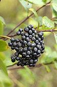 Five-veined dogwood (Cornus quinquinervis) fruits