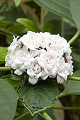Chinese glory bower(Clerodendrum chinense) flwoers