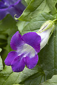 Angels trumpet (Maurandya barclayana) flower