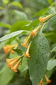 Orange jessamine (Cestrum aurantiacum) flowers and leaves