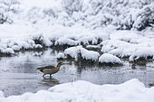 Egyptian Goose (Alopochen aegyptiaca) walking in water in winter, Alsace, France