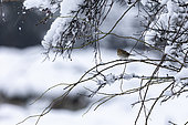 Reed bunting (Emberiza schoeniclus) on a branch in winter, Alsace, France