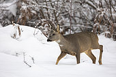 Roe deer (Capreolus capreolus) male in velvet in snow, Alsace, France