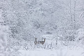 Roe deer (Capreolus capreolus ) females in snow, Alsace, France