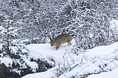 Brown Hare (Lepus europaeus) walking on snow, Vosges, Alsace, France