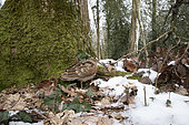 Bécasse des bois (Scolopax rusticola), en sous bois en hiver, Ille et Vilaine, Bretagne, France