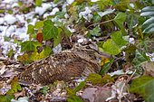 Woodcock (Scolopax rusticola), in undergrowth in winter, Ille et Vilaine, France Brittany,