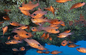 Cardinalfish (Apogon imberbis). Fish of the Canary Islands, Tenerife.