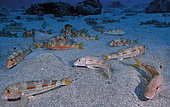 Striped red mollet (Mullus surmuletus). Fish from the Canary Islands, Tenerife.