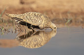 Black-bellied Sandgrouse (Pterocles orientalis), El Planeron, Aragona, Spain, July 2020