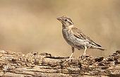 Rock Sparrow (Petronia petronia), El Planeron, Aragona, Spain, July 2020