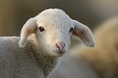 Domestic sheep (Ovis aries), lamb on pasture, Germany, Europe