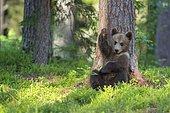 European Brown bear (Ursus arctos) young animal, Finland, Europe