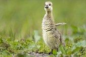 Greylag goose (Anser anser) Gössel, Lower Saxony, Germany, Europe